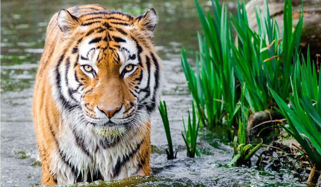 Mangroves, Tigers, and Climate Change